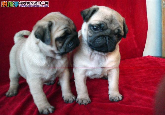 超级可爱的巴哥犬,公母都有_杭州巴哥犬 _狗铺子