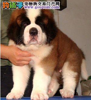 正规犬舍专业繁殖的温顺友善的精品纯种圣伯纳幼犬出售