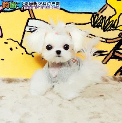 CKU 马尔济斯犬纯种犬宠物狗狗 高端马尔济斯幼犬