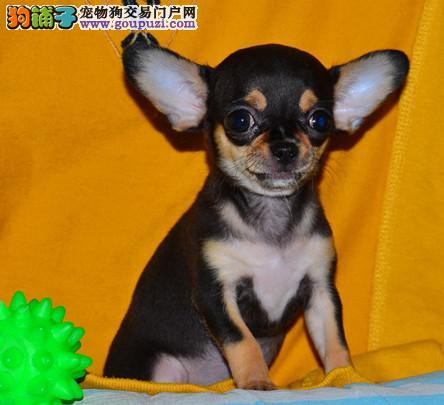 纯种吉娃娃幼犬 纯种吉娃娃幼犬找新家啦