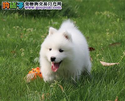 CKU 萨摩耶犬纯种宠物狗狗萨摩幼犬找新家1