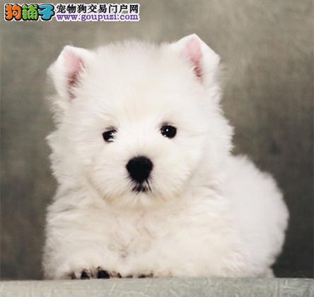 西高地幼犬出售 白梗赛级双血统纯种 宠物狗公母都有