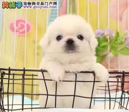 纯种京巴犬 保障纯种健康 精品幼犬找新家