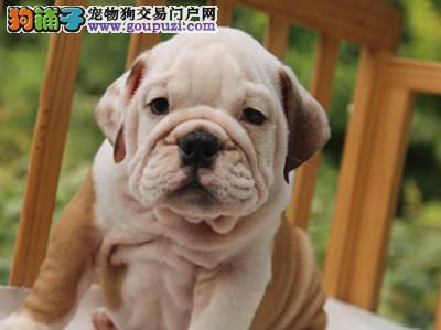 双血统纯种英国斗牛犬 专业培育高端宠物伴侣犬