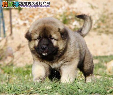 纯种高加索幼犬出售 精品高加索幼犬找新家