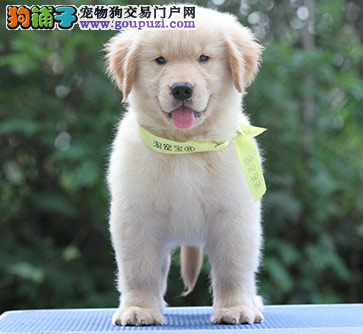 犬舍直销金毛宝宝 希望能找到喜欢他的主人