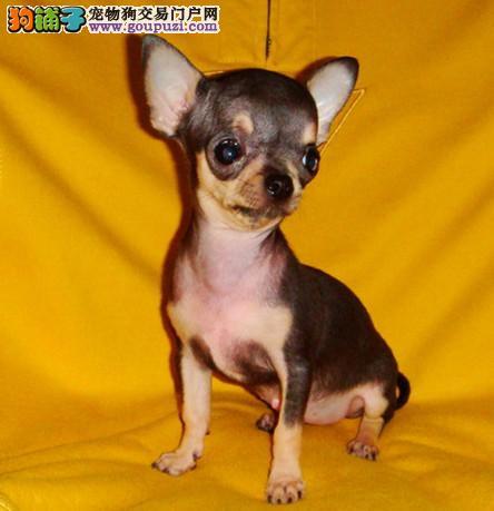 纯种吉娃娃幼犬 纯种吉娃娃幼犬找新家啦3