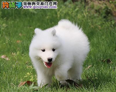 CKU 萨摩耶犬纯种宠物狗狗萨摩幼犬找新家2
