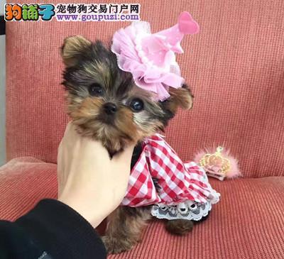 犬舍直销约克夏宝宝 希望约克夏能找到喜欢他的主人