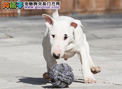 CKU 迷你牛头梗冠军直子哪里有卖,期待更多幼犬请加微信