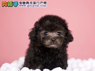 犬舍直销贵宾泰迪宝宝 希望能够找到喜欢它们的主人