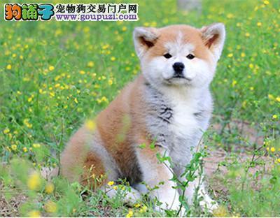 玛丽秋田柴犬专业犬舍 希望能够找到喜欢它们的主人