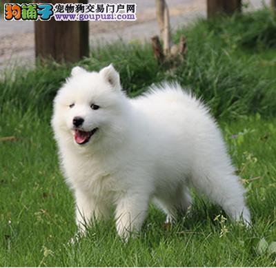 CKU 萨摩耶犬纯种宠物狗狗萨摩幼犬找新家