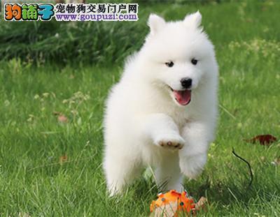 CKU 萨摩耶犬纯种宠物狗狗萨摩幼犬找新家3