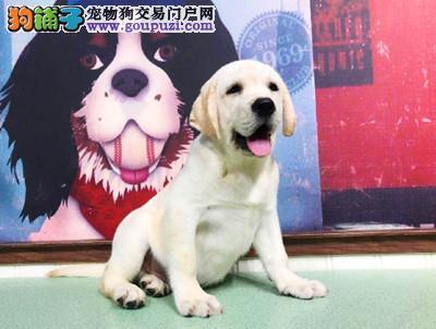 纯种拉布拉多幼犬 精品拉布拉多幼犬出售