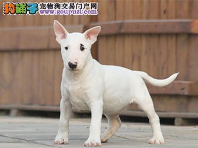 CKU 迷你牛头梗冠军直子出售,期待更多幼犬请加微信