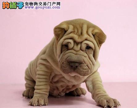 纯种沙皮狗狗幼犬找新家 精品幼犬品相可以自己来看
