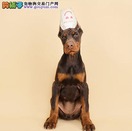 纯种杜宾幼犬出售 精品杜宾幼犬裁耳已做好找新家啦