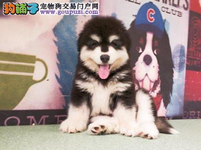 纯种阿拉斯加雪橇犬 武汉专业纯种名犬培育中心