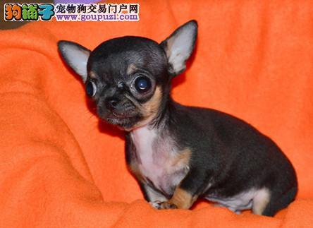 纯种吉娃娃幼犬 纯种吉娃娃幼犬找新家啦1