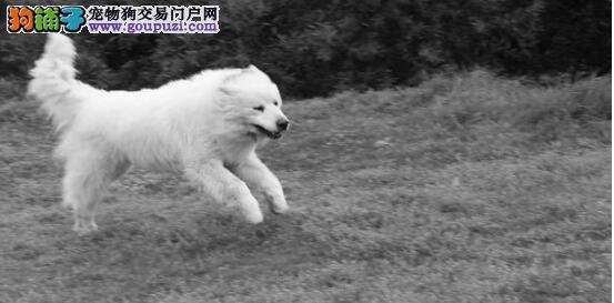 选择大白熊犬的技巧与注意事项