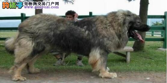 高加索犬挑选诀窍