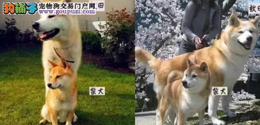 几招教你轻松识别秋田犬OR柴犬