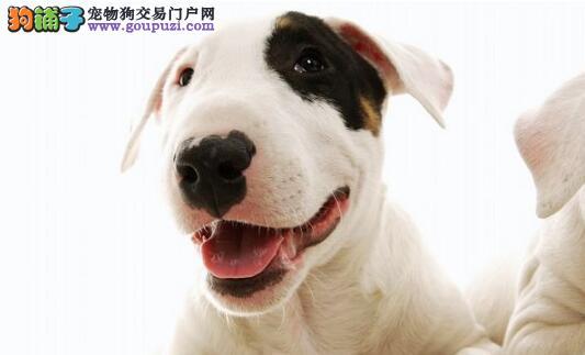 """宠物狗中的""""勇士""""——斗牛梗"""