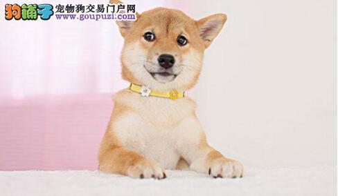 养柴犬要知道柴犬的性格