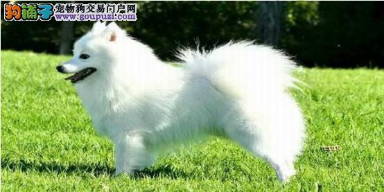 买狗朋友看过来,挑选银狐犬有方法