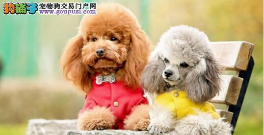 泰迪犬纯种与否的鉴别小方法