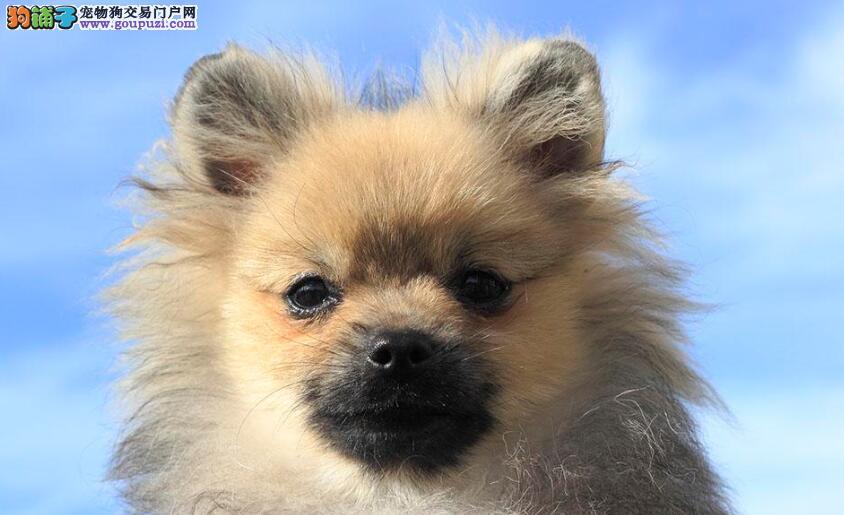只需三点就可以挑选一个完美的博美犬