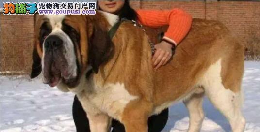 宠物狗圣伯纳犬的特点解析