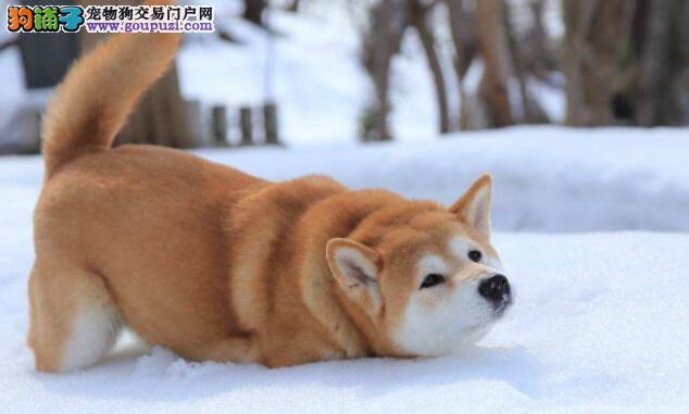 分享柴犬挑选技巧,教你如何看柴犬幼犬的品相