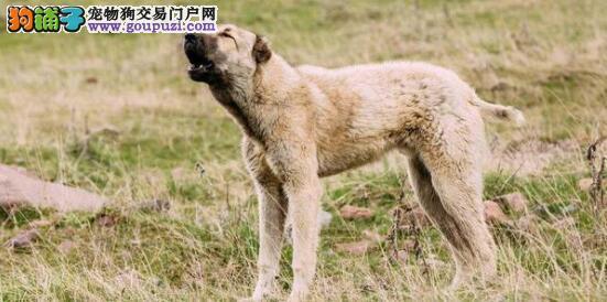 中亚牧羊犬正确的挑选方式