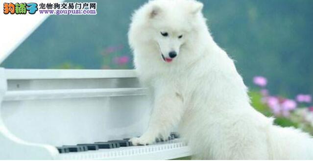 如何分辨银狐犬纯不纯?小编给你来支招