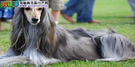 从外形看阿富汗猎犬是不是值得入手