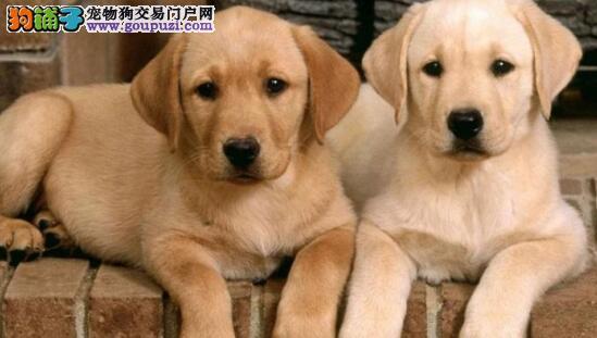 选择拉布拉多犬你知道什么颜色好呢