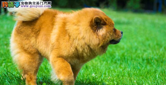都说松狮犬好,但是为什么饲养的人不多呢?