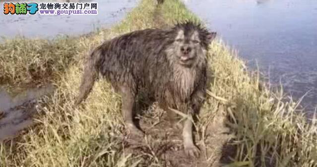 带着阿拉斯加犬回农村玩,一天后真想扔了它