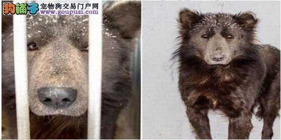 被抛弃的熊头狗,再不信任人类