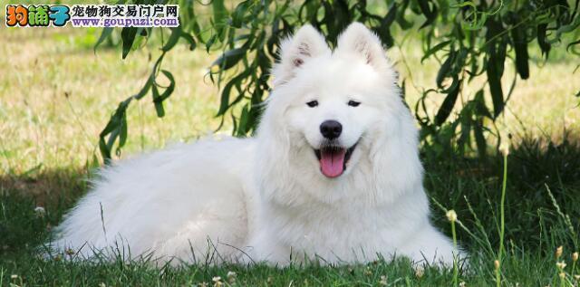 可爱的萨摩耶把大白熊认成了同类,萌哒哒的求抱抱