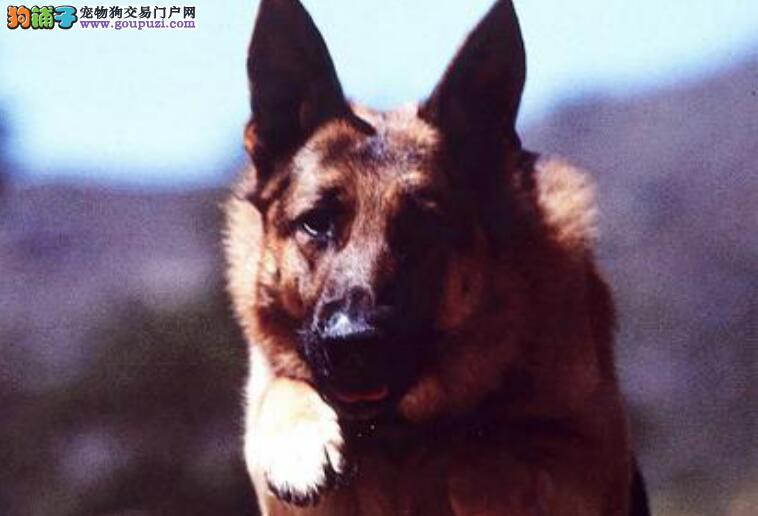 如何饲养幼年的德国牧羊犬