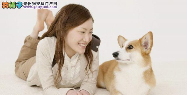 如何做才能够让柯基犬对主人更加忠诚