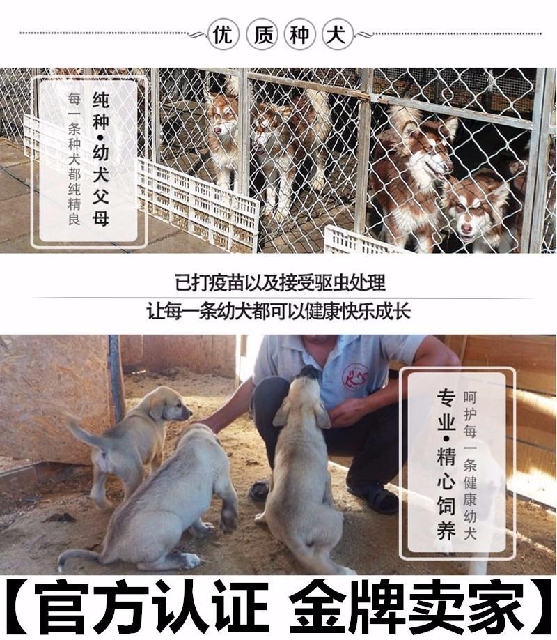 北京养殖场直销完美品相的高加索微信咨询看狗狗照片