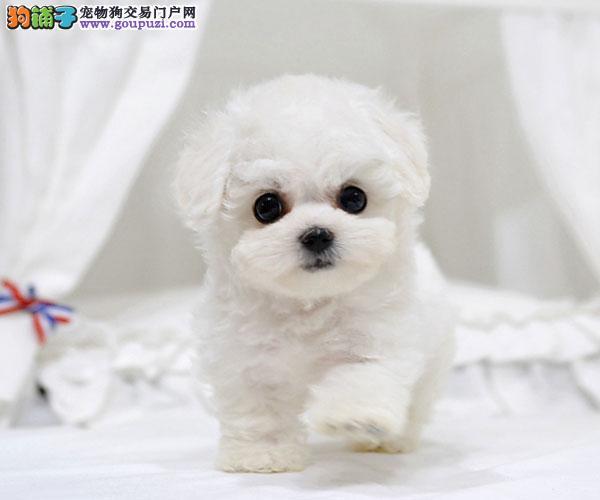 顶级大眼睛甜美脸型小体大毛量纽扣眼棉花糖比熊幼犬