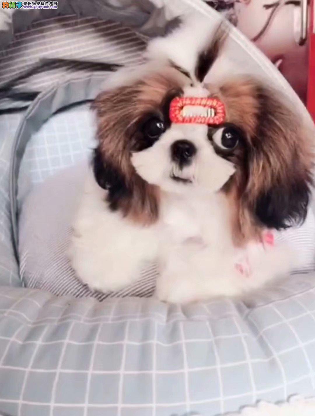 贵族气质 小型犬纯种西施宝宝出售