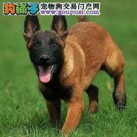 高智商马犬 赛级马犬 工作犬护卫犬