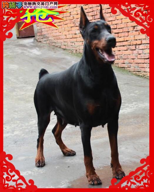 德系杜宾犬、免费送货到家、售后签订协议保成活1