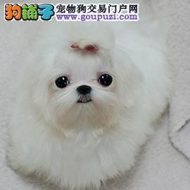 纯种超小体马尔济斯幼犬 签协议纯正品质 可见狗父母1